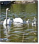 Swan With Signets Acrylic Print