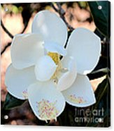 Sweet Magnolia Acrylic Print
