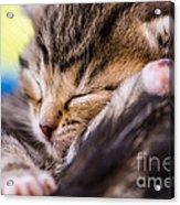Sweet Small Kitten  Acrylic Print