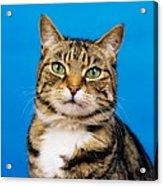 Tabby Cat Acrylic Print