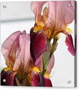 Tall Bearded Iris Named Indian Chief Acrylic Print