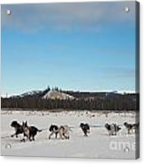 Team Of Sleigh Dogs Pulling Acrylic Print