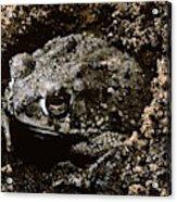 Texas Toad Acrylic Print
