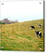 The Cows Of Dunnottar Castle Acrylic Print