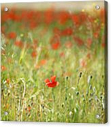 The First Poppy Of The Field Acrylic Print