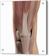 The Muscles Of The Knee Acrylic Print