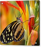 The Postman Butterfly Acrylic Print