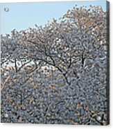 The Simple Elegance Of Cherry Blossom Trees Acrylic Print