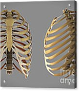 Thoracic Cage Acrylic Print