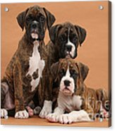 Three Boxer Puppies Acrylic Print