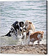 Three Dogs Playing On Beach Acrylic Print