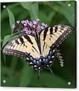 Tiger Swallowtail On Butterfly Bush Acrylic Print