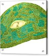 Tomato Chloroplast, Tem Acrylic Print