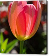 Tulip On The Green Background Acrylic Print