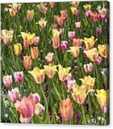 Tulips At Dallas Arboretum V92 Acrylic Print