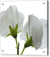 Two White Sweet Peas 2 Acrylic Print