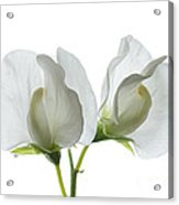 Two White Sweet Peas Acrylic Print