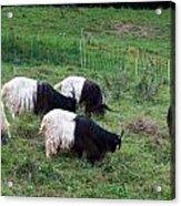 Valais Blackneck Goats Acrylic Print