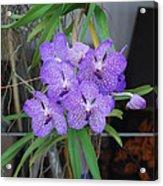 Vanda Orchid Acrylic Print
