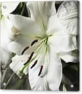 Vase White Lilies With Falling Petals As They Die Acrylic Print