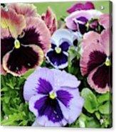 Viola 'coastal Sunrise' Flowers Acrylic Print