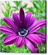 Violet Daisy Acrylic Print