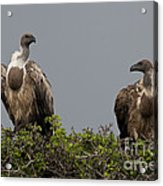 Vultures With Full Crops Acrylic Print