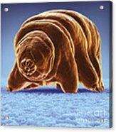 Water Bear Tardigrades Acrylic Print