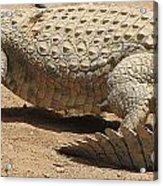 White Crocodile Acrylic Print