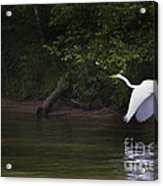 White Egret In Flight Acrylic Print