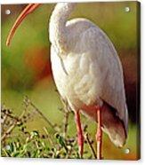 White Ibis Eudocimus Albus Acrylic Print