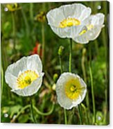 White Iceland Poppy - Beautiful Spring Poppy Flowers In Bloom. Acrylic Print