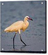 White Morph Redish Egret Acrylic Print