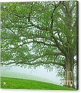 White Oak Tree In Fog Acrylic Print