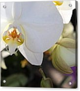 White Orchid Three Acrylic Print