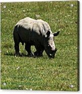 White Rhinoceros Calf  Acrylic Print