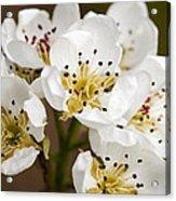 Beautiful White Spring Blossom Acrylic Print