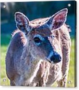 White Tail Deer Bambi In The Wild Acrylic Print