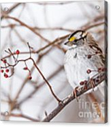 White-throated Sparrow Acrylic Print