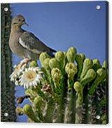 White-winged Dove Atop A Saguaro Acrylic Print