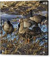 Whitefront Goose Acrylic Print