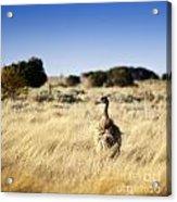Wild Emu Acrylic Print by Tim Hester
