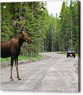 Wild Moose Acrylic Print