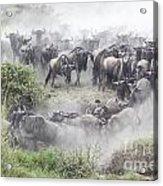 Wildebeest Migration 1 Acrylic Print