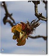 Wiliwili Flowers - Erythrina Sandwicensis - Kahikinui Maui Hawaii Acrylic Print