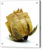 Wilted Rose Acrylic Print