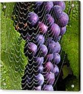 Wine In A Web Acrylic Print