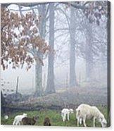 Winter Lambs Foggy Day Acrylic Print