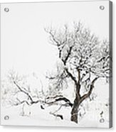 Winter Sage Acrylic Print