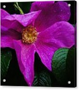 Withered Rose Acrylic Print